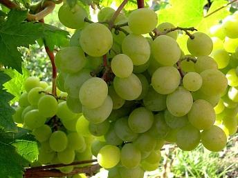 Минсельхоз прогнозирует низкие объемы урожая винограда в 2017 году