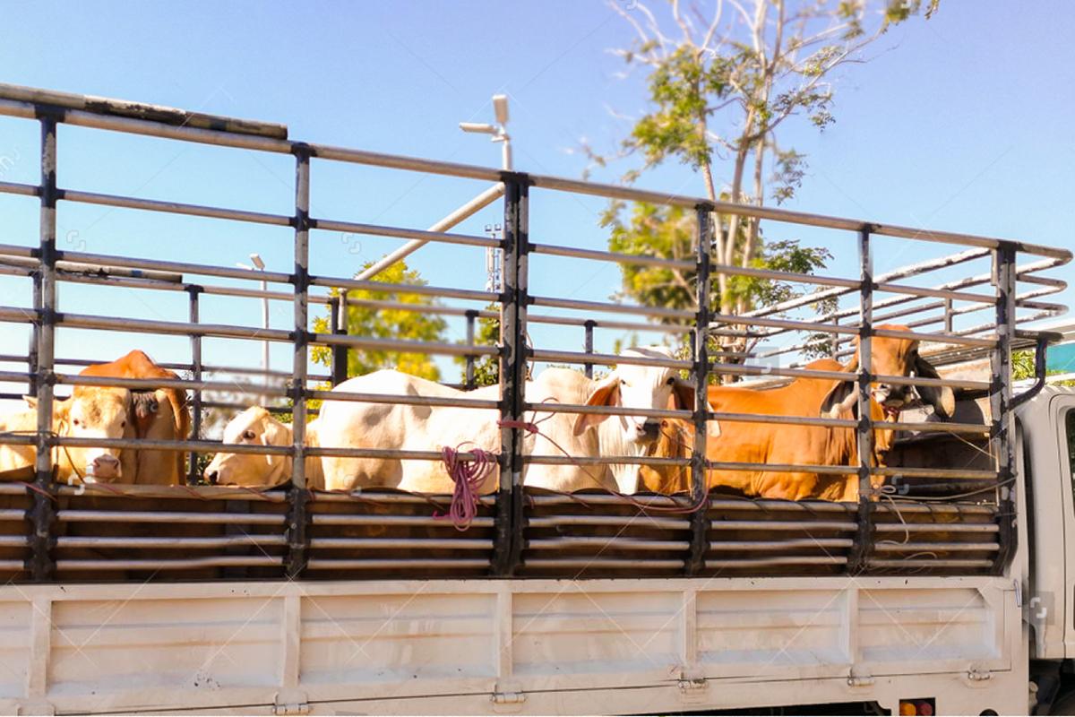 Իրանի տարածքով կենդանիների տարանցիկ արտահանման ճանապարհը բաց է